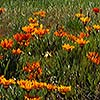 California Poppies at Simpson University